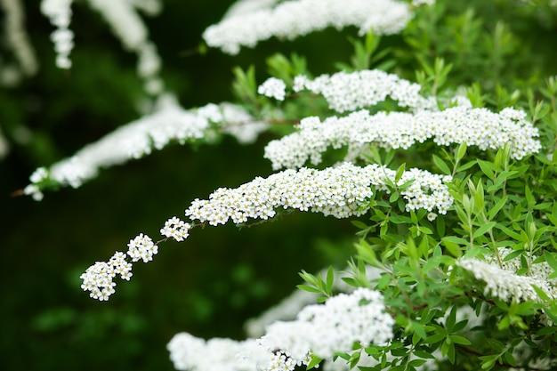 Weiße blumen spiraea auf zweig auf grünem hintergrund. spiraea cinerea grefsheim blüht im frühlingsgarten.