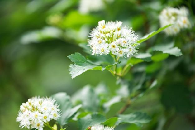 Weiße blumen und grüne blätter eines jungen baumes