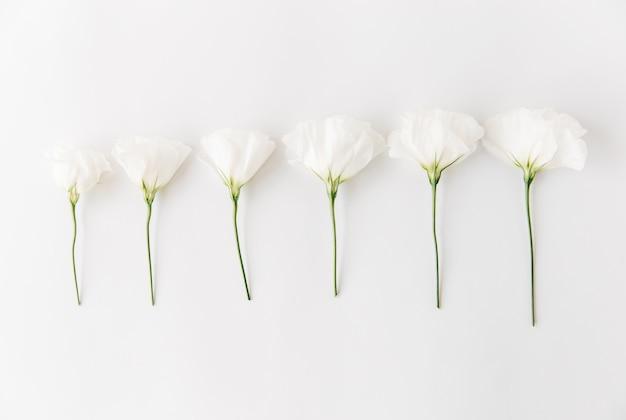 Weiße blumen zusammensetzung. flache lage, lokalisiert auf weißem blumenhintergrund.