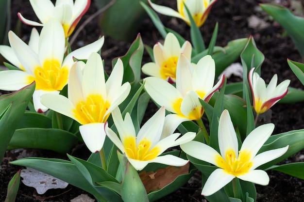 Weiße botanische tulpe der blume