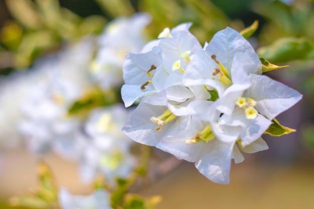 Weiße bougainvillea-blumen in tropischen gärten, dekoratives element für dekoration.