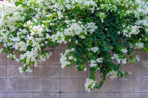 Weiße bouganvillablume an der wand