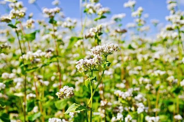 Weiße buchweizenblüten auf dem hintergrund von grünen blättern und blauem himmel