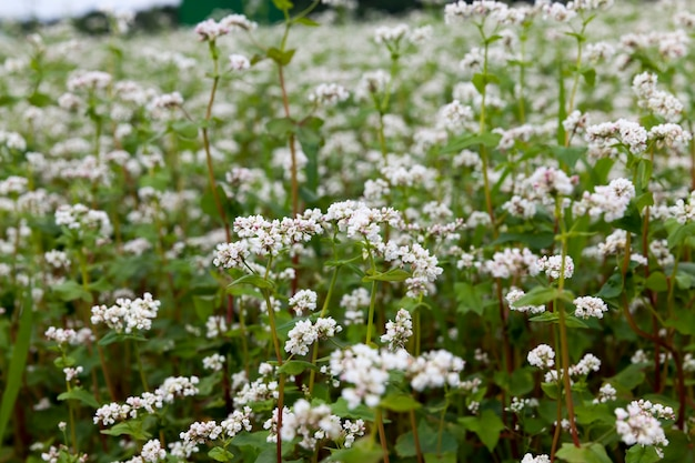 Weiße buchweizenblüten während der blüte auf einem landwirtschaftlichen gebiet, landwirtschaft mit dem anbau von buchweizen mit weißen blüten