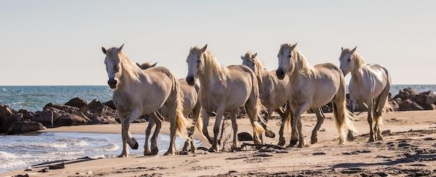 Weiße camargue-pferde fließen entlang des sandes