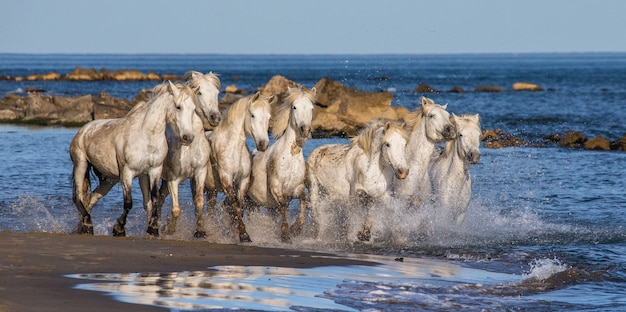 Weiße camargue-pferde galoppieren am meeresstrand entlang