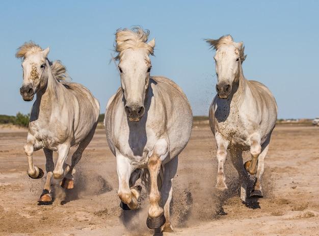 Weiße camargue-pferde galoppieren im sand