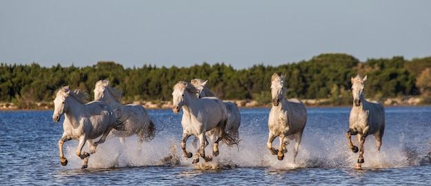 Weiße camargue-pferde rennen im naturschutzgebiet der sümpfe