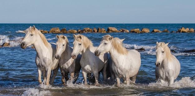 Weiße camargue-pferde stehen am meeresstrand