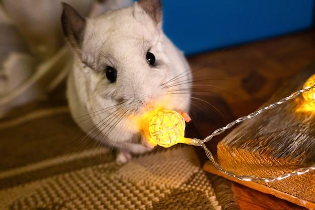 Weiße chinchilla sitzt auf dem boden. nettes heimtier in der nähe der lichter.