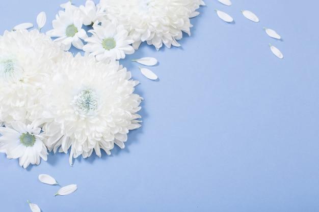 Weiße chrysantheme auf blauem papierhintergrund