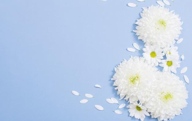 Weiße chrysantheme auf blauer papieroberfläche