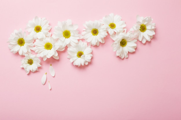 Weiße chrysantheme auf rosa papier