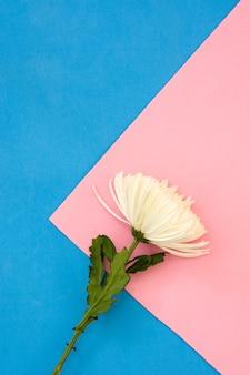 Weiße chrysanthemenblume auf rosa und blauem copyspace