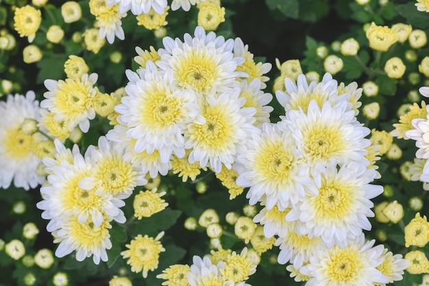 Weiße chrysanthemenblume mit gelbem zentrum,