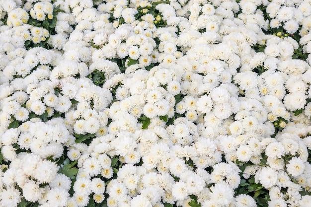 Weiße chrysanthemenblume