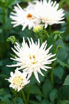 Weiße dahlienblumen blühen im garten, stock-foto