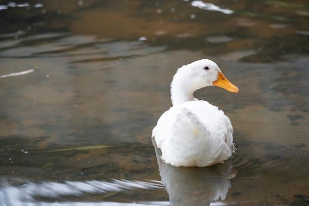 Weiße ente des amerikanischen pekin, die auf dem wasser von see schwimmt.