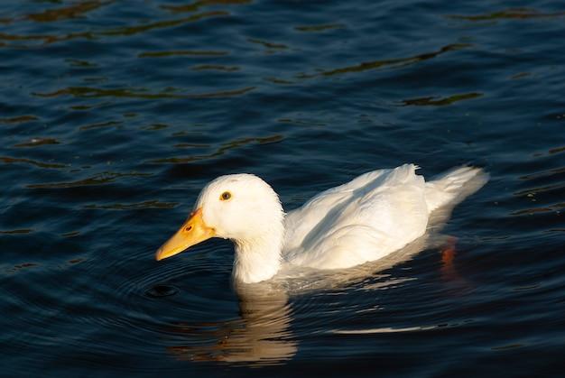 Weiße ente schwimmt im teich.