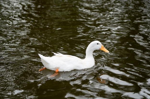 Weiße enten, die im fluss der bauernhoflandwirtschaft schwimmen