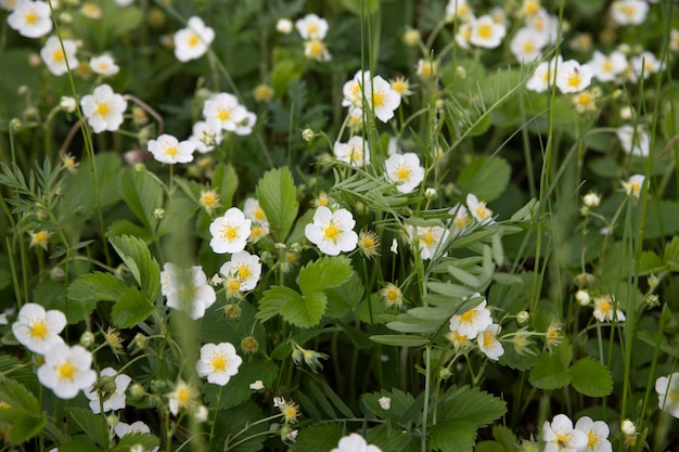 Weiße erdbeerblumen. fragaria viridis. erdbeeren, die in einer wiese im gras im wilden wachsen.
