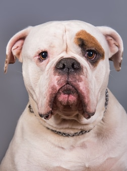 Weiße farbe mantel erwachsene amerikanische bulldogge vorderansicht nahaufnahme porträt auf grauem hintergrund