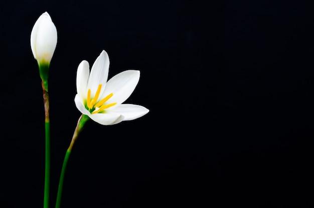Weiße farberegen-lilienblume, die in der regenjahreszeit auf dunkelheit blüht