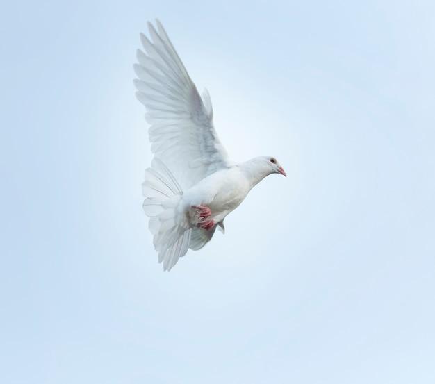 Weiße feder, die taubenvogel fliegt, der mittlere luft fliegt
