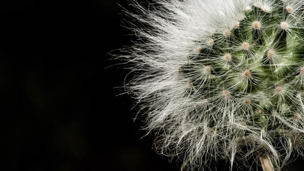 Weiße federn einer kaktuspflanze auf schwarzem hintergrund
