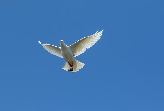 Weiße federtaube, die gegen klaren blauen himmel fliegt