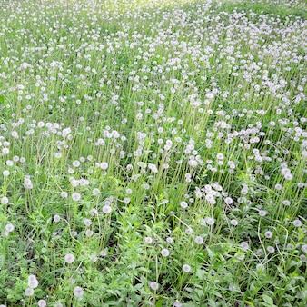 Weiße flaumige löwenzahnblume auf dem grünen gebiet