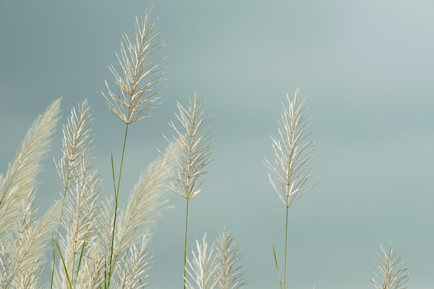 Weiße flauschige blumen von kansgras vor blauem himmel