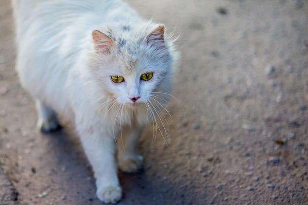 Weiße flauschige katze geht die straße entlang auf der suche nach nahrung