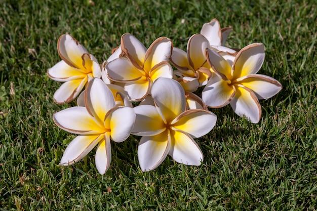 Weiße frangipani-blüten mit blättern