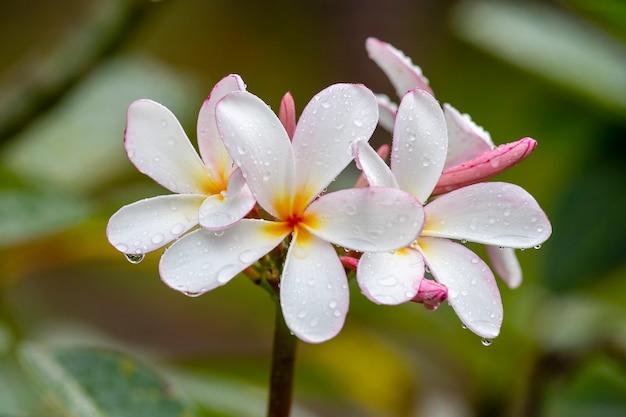 Weiße frangipani-blume in voller blüte im sommer nach dem regen