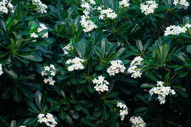 Weiße frangipaniblumen oder gelber blütenstaubblumenstrauß des plumeria, die auf anlage am blumengarten blühen
