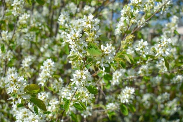 Weiße frühlingsblumen auf bäumen im frühling