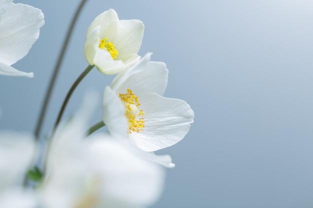 Weiße frühlingsblumen auf blauem hintergrund. selektiver flacher fokus