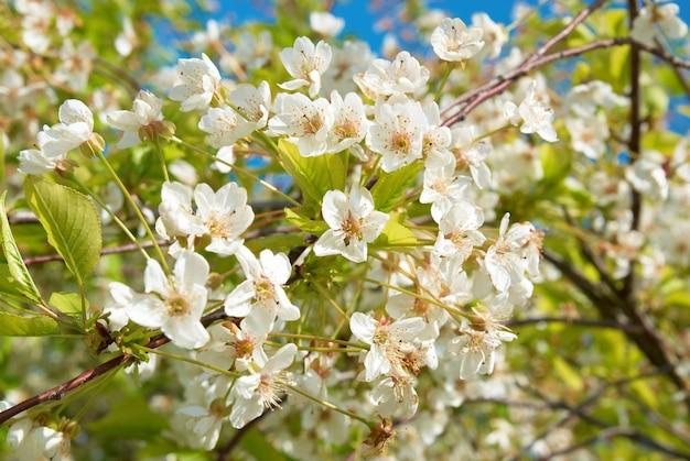 Weiße frühlingskirschbaumblumen mit blauem himmel