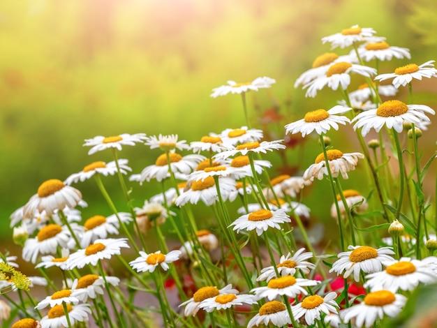Weiße gänseblümchen auf der wiese an einem klaren sonnigen tag