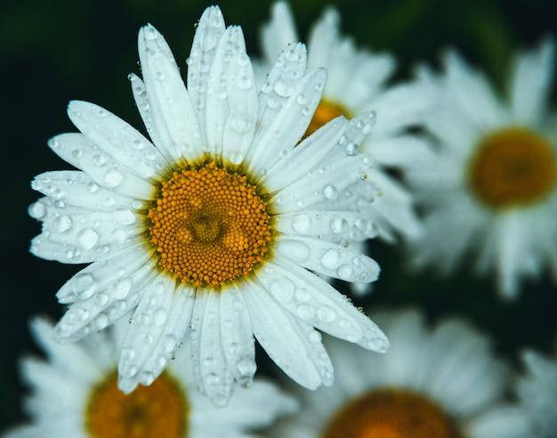 Weiße gänseblümchen auf dunklem hintergrund. die blüten sind mit regentropfen oder tau bedeckt.