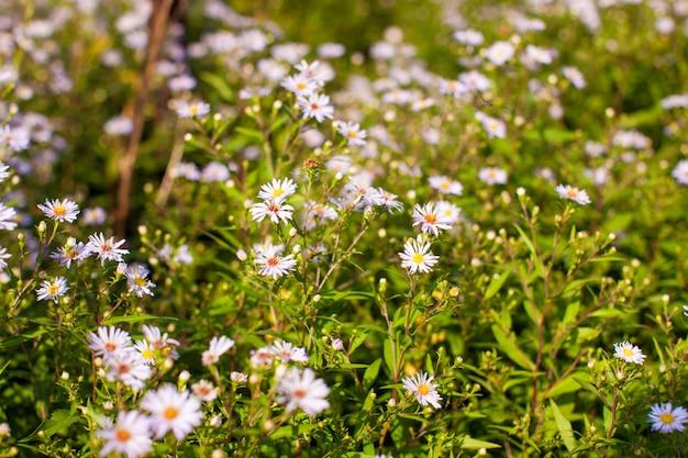 Weiße gänseblümchen im garten