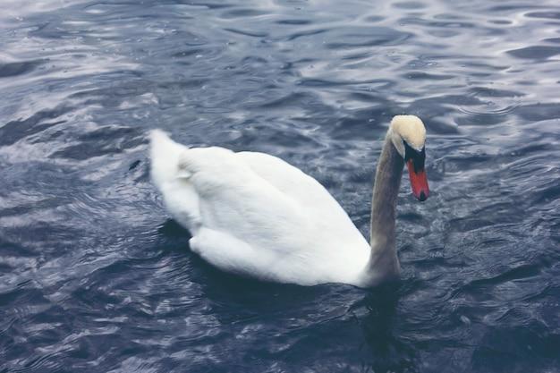 Weiße gans schwimmt im wasser