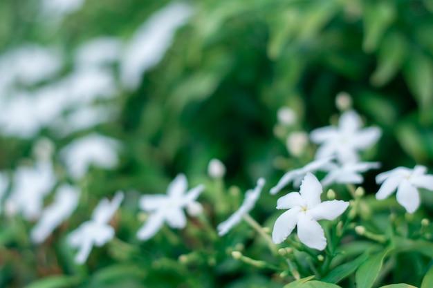 Weiße gardenieblume, die auf einem grünen gardeniebaum blüht.