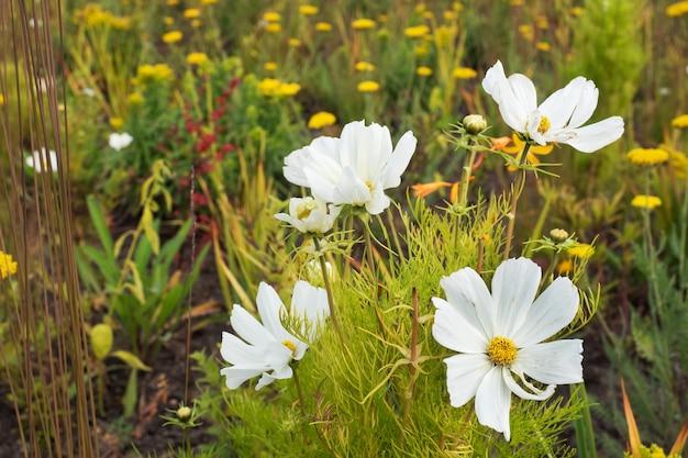 Weiße gartenblumen von cosmea