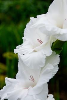 Weiße gladiole hautnah im garten