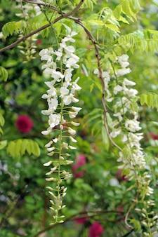 Weiße glyzinienblüten