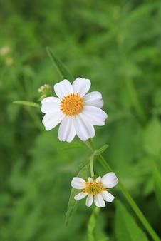 Weiße grasblume im wald