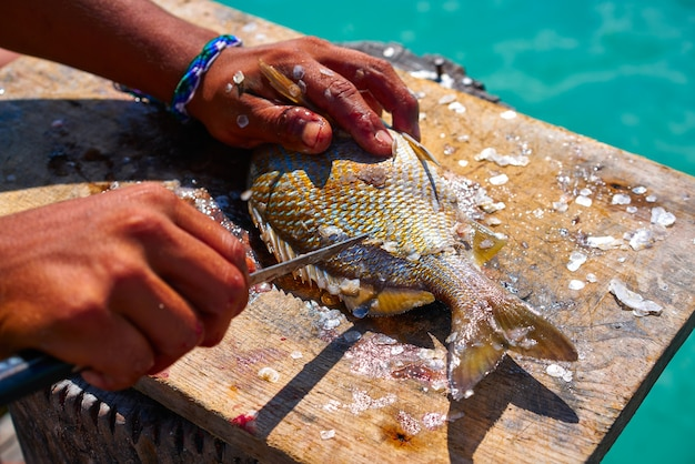 Weiße grunzenfische entspannen sich in der karibik