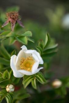 Weiße hagebuttenblüten mit blättern